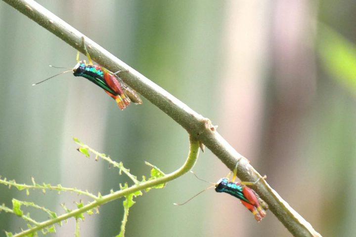 Rainbow Crickets Manuel Antonio