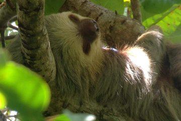 Two-toed Sloth Manuel Antonio