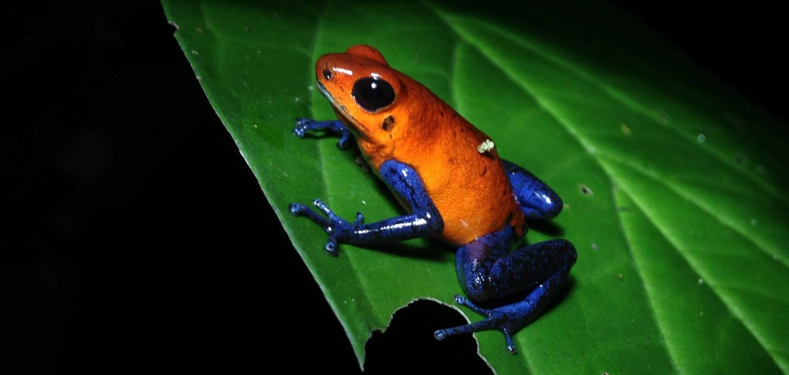 Blue Jeans Frog La Fortuna