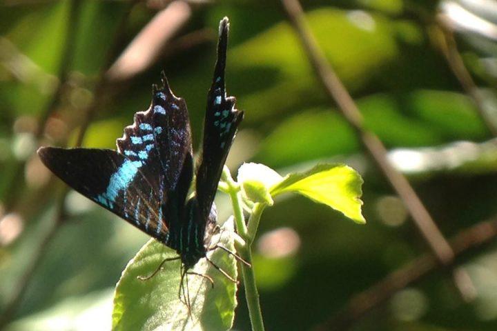 Butterfly Manuel Antonio