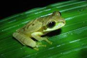 Frog La Fortuna