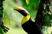 Chestnut-Mandibled Toucan Costa Rica