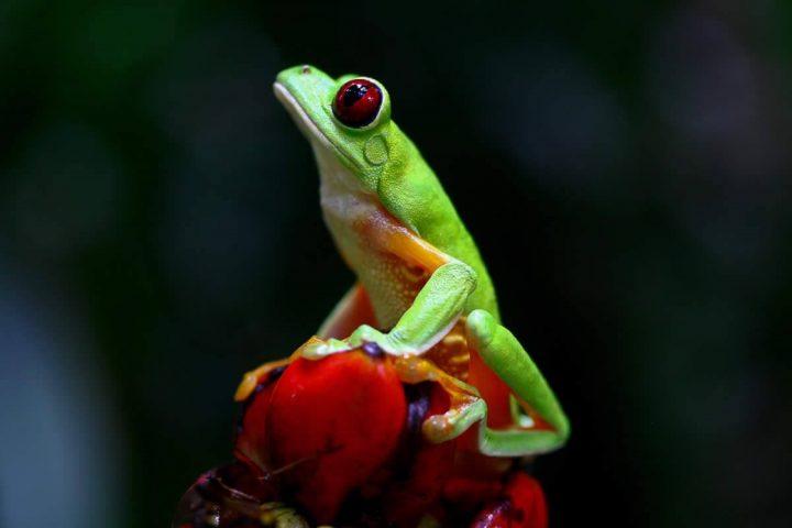 Red-Eye Tree Frog Rainmaker Park