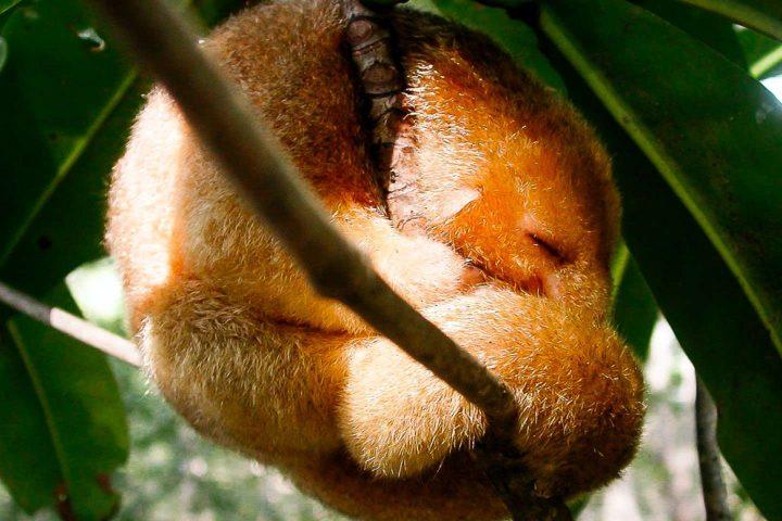 Silky Anteater Damas Island