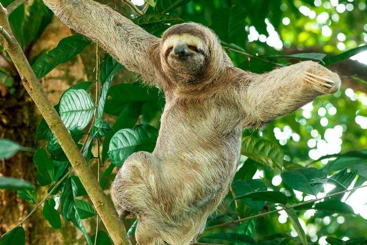 Three-toed Sloth Damas Island