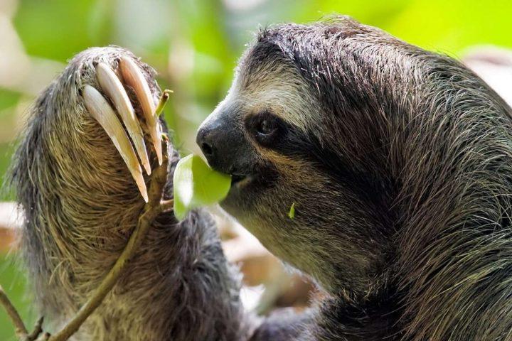 Sloth Cahuita National Park