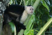 Capuchin Monkey Cahuita
