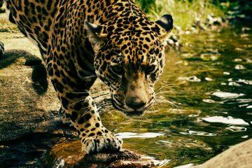 Jaguar Rescue Center